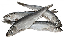 Baltic Herring