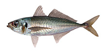 Jack mackerel (Green tail)