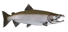 King salmon (Chinook)